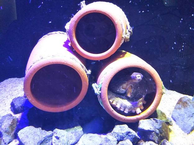 四国水族館 蛸壺の景 マダコ2