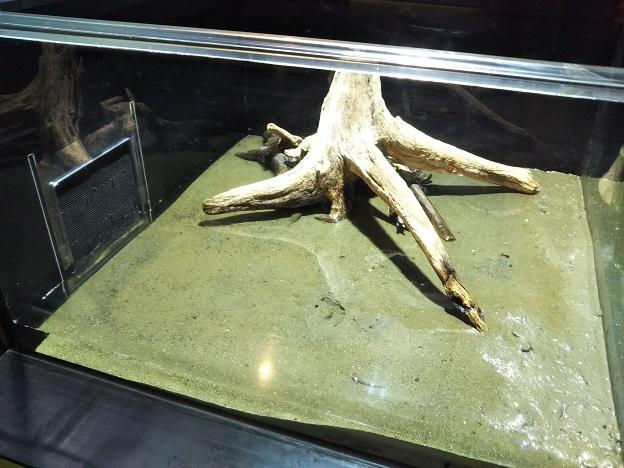 四国水族館 干潟の景 トビハゼ1
