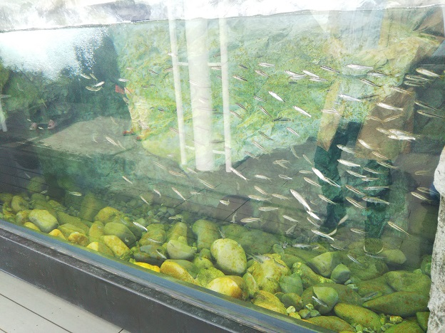四国水族館 渓流の景 カワムツ