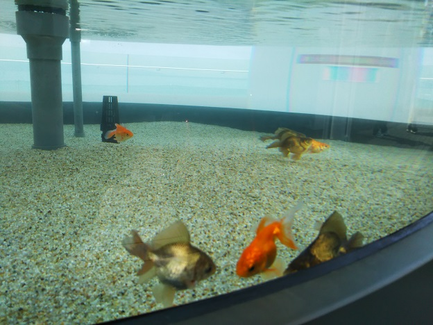 四国水族館 四国金魚の景 トサキン2