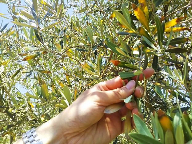 小豆島オリーブ公園 ハートの葉