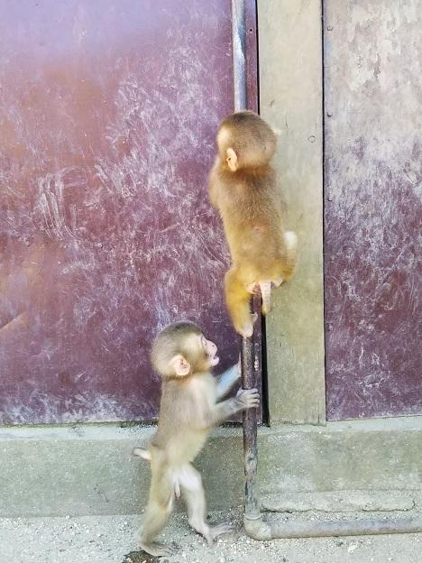 お猿の国 子ザル2