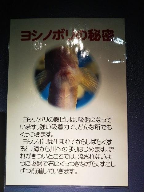 ヨシノボリの秘密