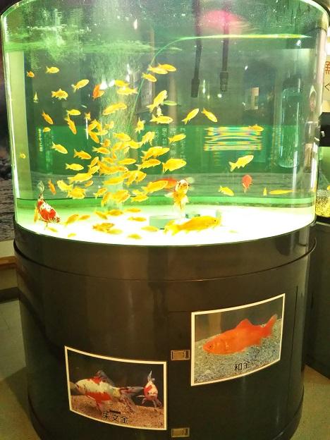 おさかな館 金魚1