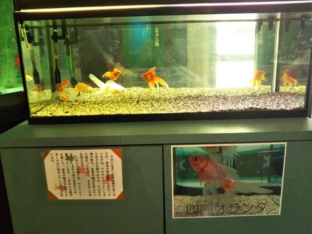 おさかな館 金魚2