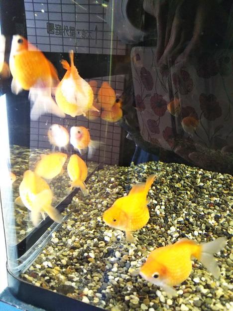 おさかな館 金魚3
