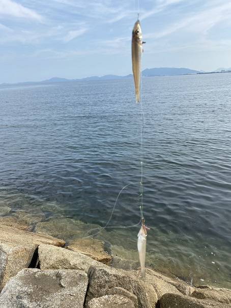 箕浦漁港で釣れたキス
