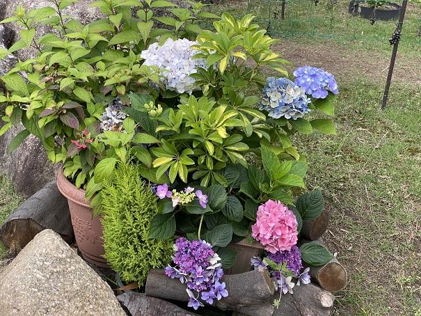 番の州公園 紫陽花1