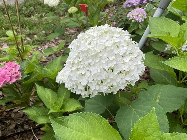 番の州公園 紫陽花4