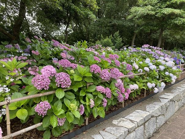 番の州公園 アジサイ花壇