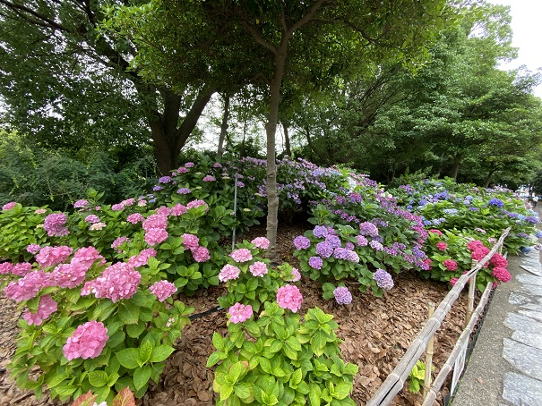 番の州公園 紫陽花花壇3