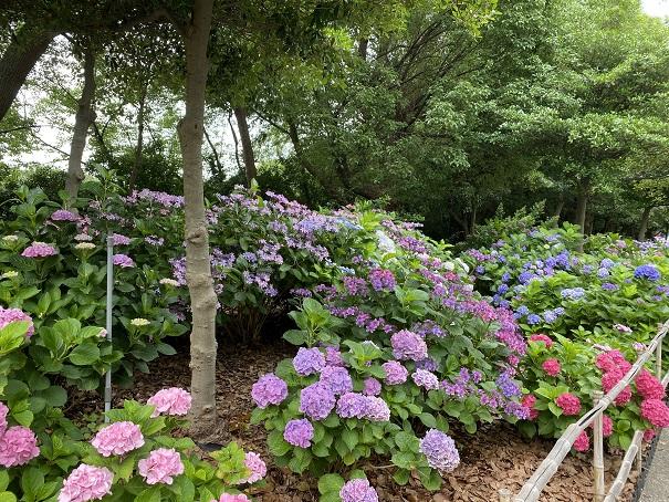 番の州公園 紫陽花花壇2