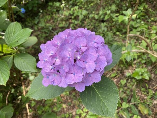 八十八庵 紫陽花7