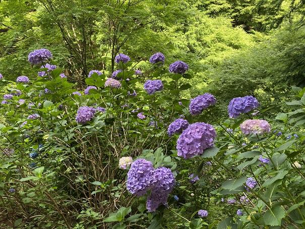 八十八庵 紫陽花8