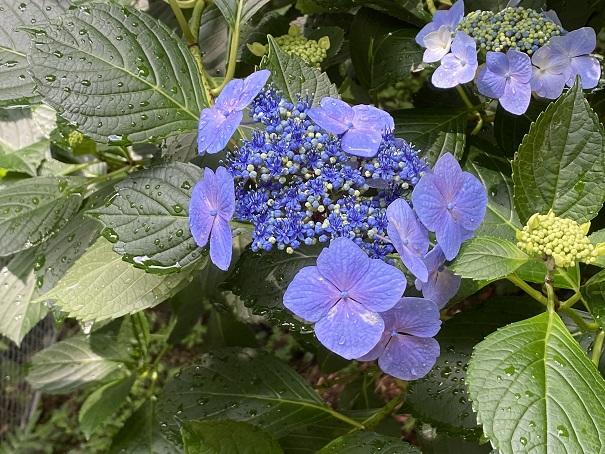 八十八庵 紫陽花10