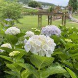善通寺五岳の里 紫陽花