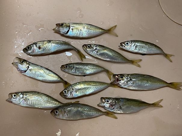 津田港の釣果