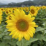 香川県のおすすめひまわり畑や団地
