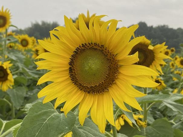 黄色くてきれいなひまわり