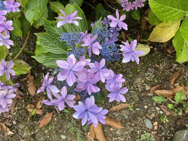 紫の花びらのあじさい