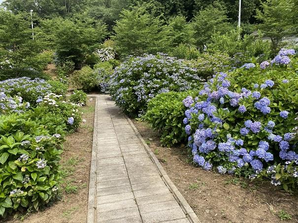 勝名寺 紫陽花の道