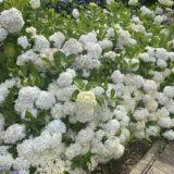 勝名寺 紫陽花