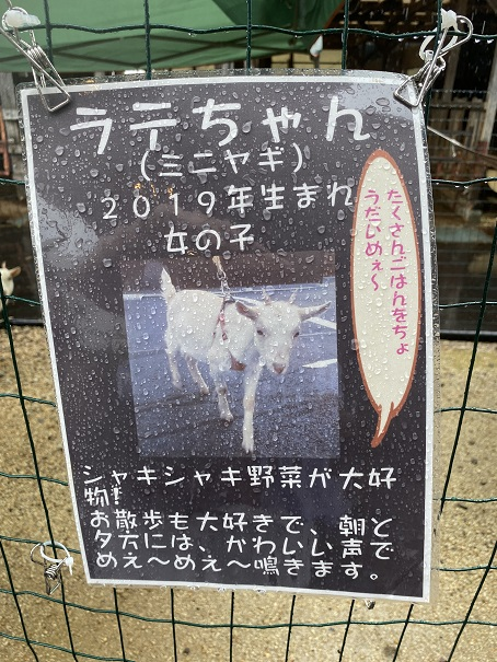 animal cafe Haru-Haru Farm (アニマルカフェ ハル-ハル ファーム)ラテちゃん