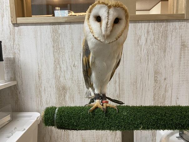 animal cafe Haru-Haru Farm (アニマルカフェ ハル-ハル ファーム) フクロウ