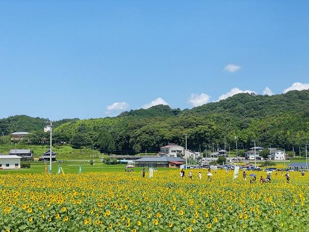 帆山ひまわり団地黄色の絨毯