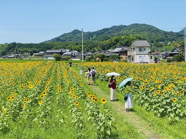 帆山ひまわり団地向日葵畑の通り道