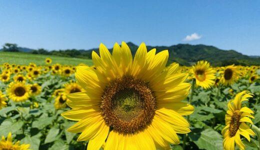 中山ひまわり団地丘から見える壮大な向日葵畑 まんのう町