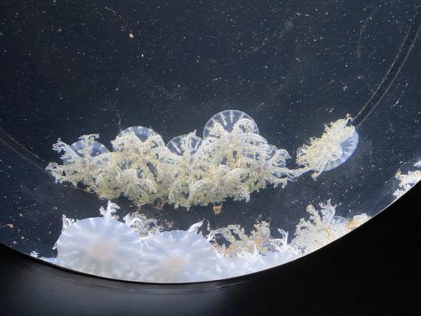 新・足摺海洋館SATOUMI サカサクラゲ