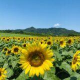 香川県おすすめひまわり畑や団地