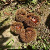 香南アグリーム 栗の収穫体験