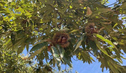 佐々木巨峰園の栗拾い 大きな栗がたくさん取れる 内子町