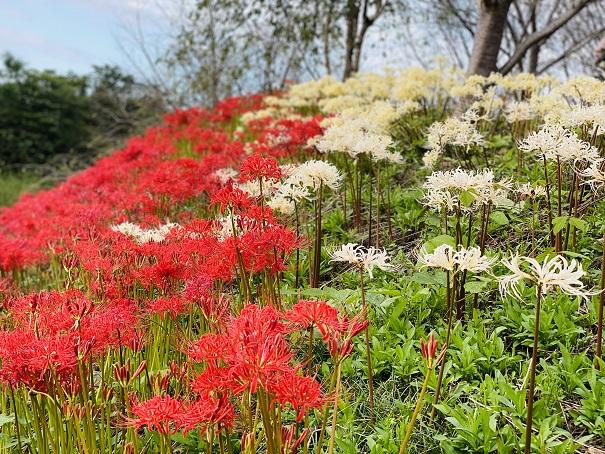 宝山湖 赤と白の彼岸花