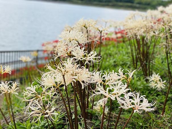 宝山湖 白い彼岸花