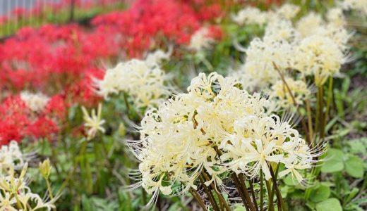 宝山湖 白と赤の彼岸花の名所 青い睡蓮ビオトープ 三豊市
