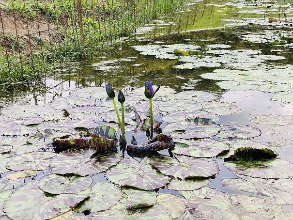 宝山湖 青い睡蓮1