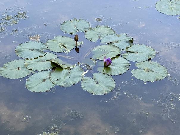 宝山湖 青い睡蓮2