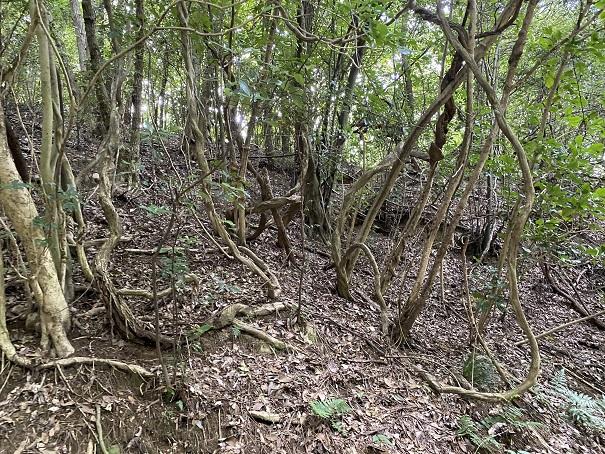 志保山 くねくねの木