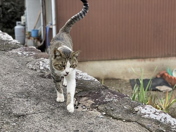 伊吹島 民家の猫
