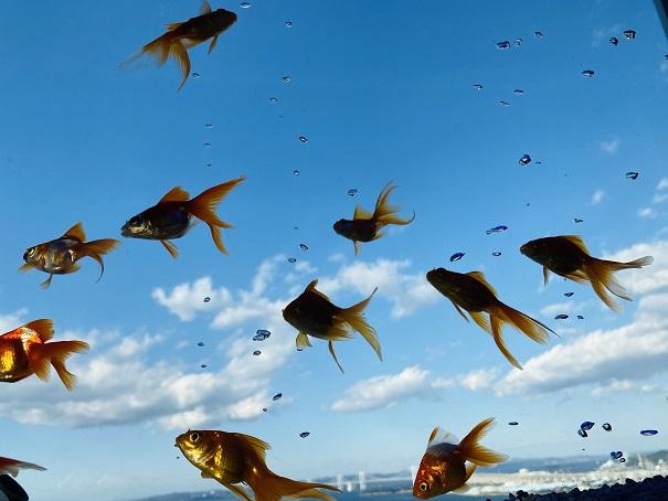 ソラキン 空を泳ぐ金魚2