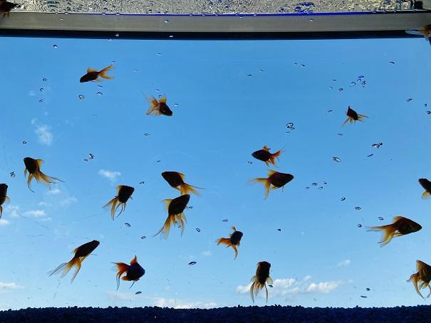 ソラキン 空飛ぶ金魚