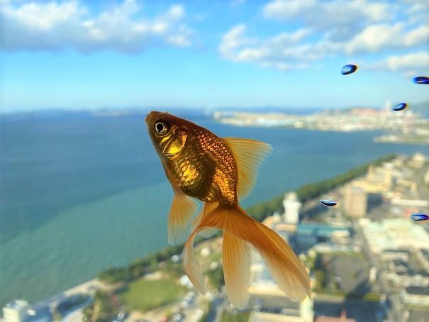 空を泳ぐ金魚SORAKIN