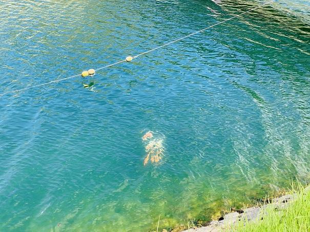 宝山湖鯉が泳ぐ
