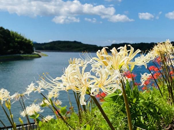 宝山湖をバックに彼岸花の写真撮影