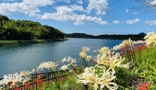 宝山湖 白と赤色の彼岸花の名所 青い睡蓮ビオトープ 三豊市