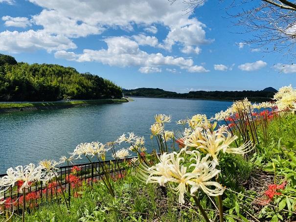 宝山湖 白と赤の彼岸花の名所