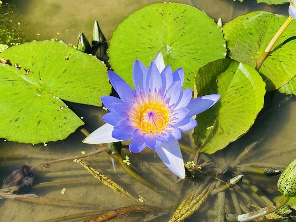 財田里山ビオトープ青い睡蓮の花